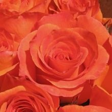 Orange Garden Rose free spirit - orange rose #orangerose | orange flowers | pinterest