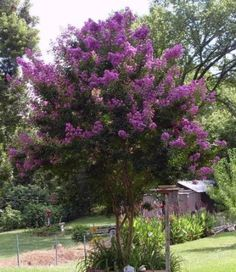 100 Pcs - Dormant Bare Root of Purple Crepe Myrtle, Lagerstroemia Indica Flowering Shrubs, Trees And Shrubs, Trees To Plant, Patio Trees, Flowers Perennials, Planting Flowers, Drought Tolerant Shrubs, Lagerstroemia, Tree Seeds
