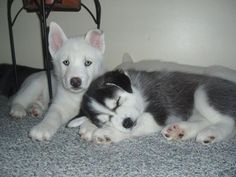 cute husky puppies • from ... APlaceToLoveDogs.com • dog dogs puppy puppies cute doggy doggies funny photography adorable funny fun silly