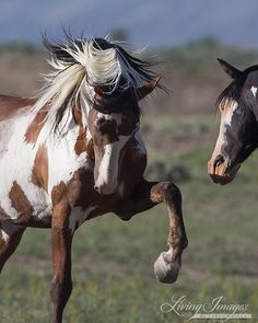 Picasso and Benson - Fine Art Wild Horse by WildHoofbeats