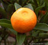 Calamondin is often considered an ornamental citrus tree, though the fruit is edible and highly desired.The fruit is small and orange about 1 in diameter resembling a small tangerine. Container plant in colder locations.
