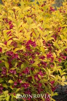Monrovia's Golden Jackpot® Weigela details and information. Learn more about Monrovia plants and best practices for best possible plant performance. Sun Perennials, Yellow Plants, Landscaping Plants, Plants, Monrovia Plants, Landscaping Inspiration, Garden Fountain, Trees And Shrubs, Full Sun Perennials
