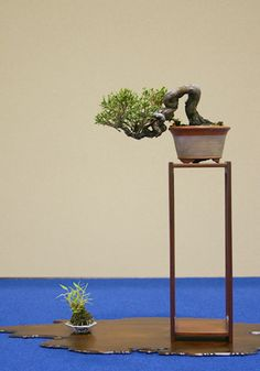 Shohin juniper looks larger than reality in its small natural colored round pot, set high on a tall table. The scene is completed w/ a kusamono both on large jita