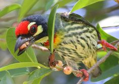 Coppersmith Barbet dining on fruit; Thailand