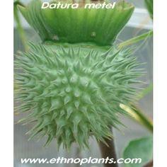 fruta de trompeta del diablo 'Datura metel)