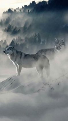 Snow Wolf In Resolution Wallpaper Lobos, Wolf Wallpaper, Animal Wallpaper, Wolf Spirit, Spirit Animal, Beautiful Wolves, Animals Beautiful, Wolf Pictures, Animal Pictures