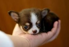 Effective Potty Training Chihuahua Consistency Is Key Ideas. Brilliant Potty Training Chihuahua Consistency Is Key Ideas. Teacup Chihuahua, Chihuahua Puppies, Cute Puppies, Cute Dogs, Dogs And Puppies, Chihuahuas, Pomchi Puppies, Dachshunds, Doggies