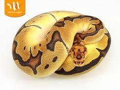 Blade Clown - Morph List - World of Ball Pythons