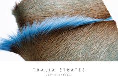 Springbok Mohawk - Thalia Strates