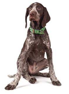 German Shorthaired Pointer -