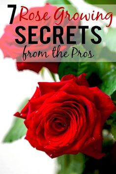 7 Rose Growing Secrets from the Pros – Make sure your rose garden is radiant and beautiful this year with these 7 Rose Growing Secrets the Pros Use. Super easy gardening tips that are absolutely effective for gorgeous roses! 7 Rose Growing Secrets from t Diy Garden, Garden Care, Garden Projects, Garden Planters, Garden Bed, Garden Paths, Garden Tools, Hydroponic Gardening, Organic Gardening