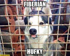 fiberian hufky - Moonf Moonf