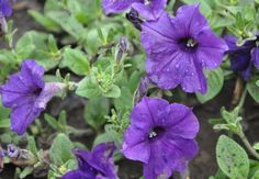Trailing Flower Seeds petunia seeds