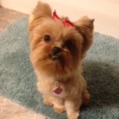 Reesey my shorkie