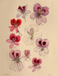 , Neue Arten von Pelargonien, vol. Botanical Flowers, Botanical Art, Botanical Illustration, Illustration Art, Russian Folk Art, Envelope Art, Floral Drawing, Unique Plants, Floral Prints