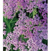 Achillea Lilac Beauty
