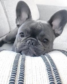 Terrific Photos dogs and puppies bulldog Suggestions Complete you're keen on your puppy? Proper doggy attention in addition to Cute Baby Dogs, Cute Little Puppies, Cute Dogs And Puppies, Cute Little Animals, Cute Funny Animals, Doggies, Baby Pugs, Cute French Bulldog, French Bulldog Puppies