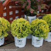 Anna's Magic Eight Ball - Dwarf conifer, zone 3, good for container planting, winter interest