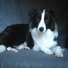 I adore border collies. ^_^ ...Not as much as shelties, but they're WAY up on the list.