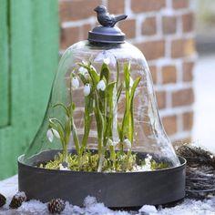 snow drops invernadero