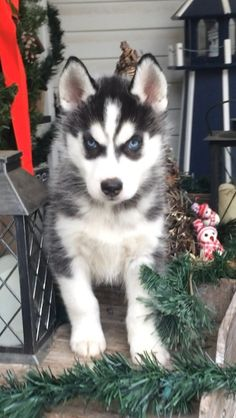 Siberian Husky puppy for sale in BEAVER, OH. ADN-56504 on PuppyFinder.com Gender: Female. Age: 9 Weeks Old