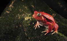 High resolution animals desktop wallpaper of Rare Tomato Frog, Maroantsetra, Madagascar (ID: Reptiles And Amphibians, Mammals, Frog Wallpaper, Reticulated Python, Amazing Frog, Awesome, Frog Pictures, Funny Frogs, Frog And Toad