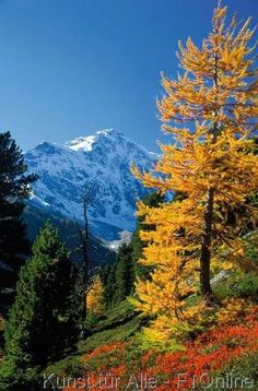 Herbstwald Lärche Ortler im Herbst, Stilfser-Joch Nationalpark, Alpen, Italien