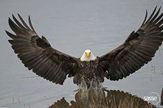 Bald eagle with outstretched wings by Sasse Photo