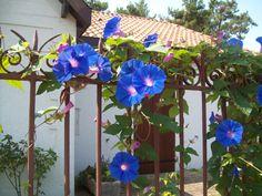 Цветы вьюны для дачи фото