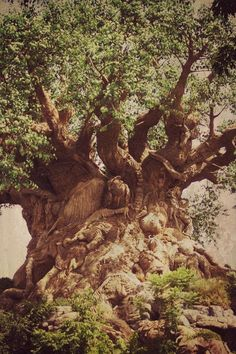 Druids Trees:  Ancient tree.