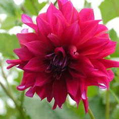 Plum Red Decorative Dahlias, Flowers, Plants, Red, Decor, Flower, Decoration, Dahlia, Dahlia Flower