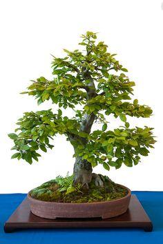 Carpinus betulus als Bonsai