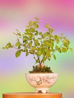 Bonsai de uma árvore exótica, que floresce dando flores que vão do branco ao cor-de-rosa em locais de clima quente. Fotografia: https://www.etsy.com