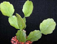 Rhipsalis cuneata