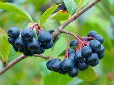 L'aronia, petite baie d'Amérique du Nord, arrive doucement mais sûrement dans nos commerces bio. Pur concentré de vitalité, ce fruit mérite d'être connu pour ses propriétés santé. Partons à sa découverte !
