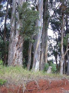 Eucalyptus Globulus - Health Benefits and Side Effects Australian Garden Design, Australian Plants, Eucalyptus Globulus, Medicinal Plants, Outdoor Plants, Native Plants, Side Effects, Health Benefits, Nativity