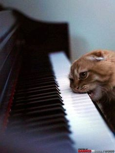 piano master- hungry #cat