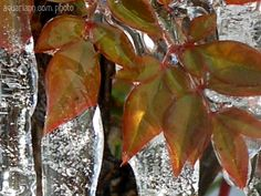 The ice on this burning bush is too cool!