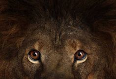 Lion portrait - part of the Affinity collection by Brad Wilson - The Independent