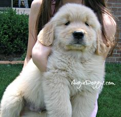 Simple Golden Retriever Chubby Adorable Dog - cace68c9a798cc879e9ca81481658b4e--golden-retriever-puppies-golden-retrievers  Pic_683118  .jpg