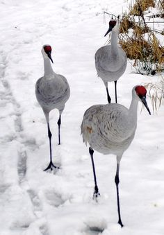 Sandhill cranes in snow ~ They are usually Florida birds.