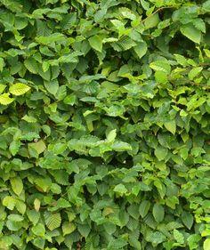 portugiesischer kirschlorbeer angustifolia prunus lusitanica 39 angustifolia 39 relativ kleines. Black Bedroom Furniture Sets. Home Design Ideas