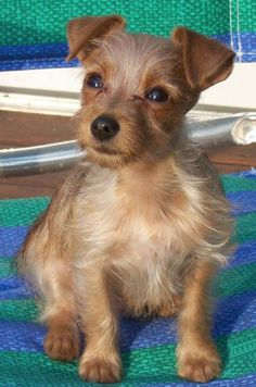 such a cute Yorkie Russell..... This is a clone of my dog !