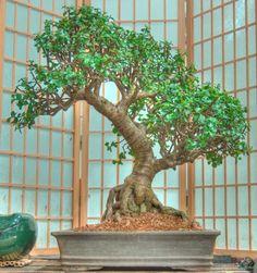 Crassula Jade bonsai tree