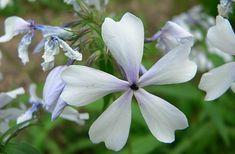 Phlox ´Dirigo Ice´ Ice, Garden, Plants, Lawn And Garden, Gardens, Ice Cream, Plant, Outdoor, Home Landscaping