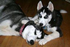 Siberian Husky pup pestering mom to play