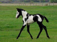 overo paint horse images | Magnifique ce poulain paint horse overo - mes amours de fufus