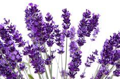 A lavanda ou alfazema (Lavandula angustifolia) é uma planta nativa da região mediterrânea, muito cultivada para a extração de seu óleo…