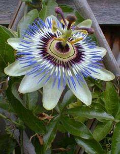 patio - Passiflora caerulea - blue passion flower