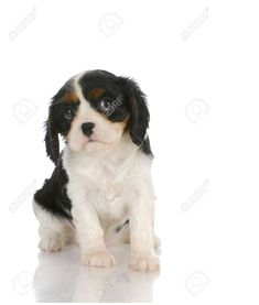 cute puppy - cavalier king charles spaniel puppy looking up out of corner of eyes - 7 weeks old Stock Photo - 11933985 Spaniels For Sale, Spaniel Puppies For Sale, Spaniel Dog, Cute Puppies, King Charles Spaniel, Cavalier King Charles, Puppy Facts, Puppy Mix, Cute Puppy Pictures